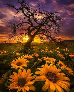 photo scenery Fields of Gold at Sunset ~ Rowena Crest, Oregon Fields Of Gold, Beautiful Sunset, Beautiful World, Beautiful Flowers, Beautiful Pictures, Flowers Nature, Beautiful Morning, Art Flowers, Orange Flowers