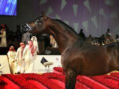 Dakharo - Silver Champion Stallion