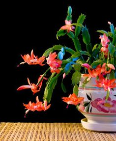 is christmas cactus poisonous youll be shocked to know