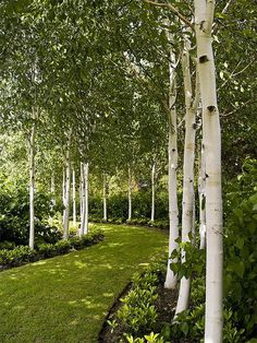 birch-lined winding path to the pond at East Ruston Old Vicarage Gardens, Norfolk, England