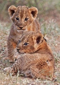 Two Small Lion Cub Siblings; so Darn Cute! Cute Baby Animals, Animals And Pets, Funny Animals, Beautiful Cats, Animals Beautiful, Beautiful Babies, Big Cats, Cute Cats, Tier Fotos