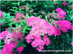 What is an Easy Maintenance Shrub with Gorgeous Blooms All Summer? Find the answer at ... #garden #gardening #gardeninspiration #gardendesign #gardeningtipsforbeginners #shrub #shrubs #flowers #magenta #hotpink #pinkflowers #lowmaintenance #easymaintenance
