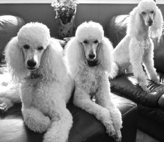 White Standard Poodles, Rodeo, Tori and Vision