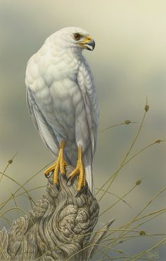 """""""Goshawk (Pale Morph)"""" - artwork by Christopher Pope - now available as fine art reproductions - http://www.artreproductions.com.au/gallery.php?artid=2853"""