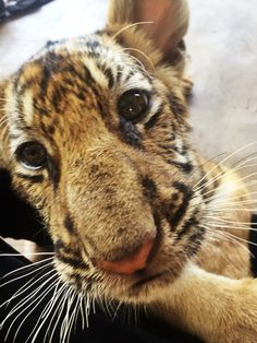 Baby Malee here at Tiger Temple enjoying some cuddles from the volunteers