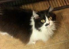 Meet Miss Kitty, a Petfinder adoptable Domestic Long Hair-black and white Cat | Muncie, IN | Miss Kitty is a sweet, gentle feline that loves head and ear scratches.  She would do best in a...