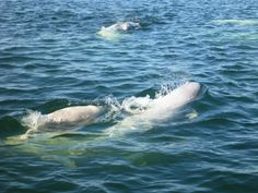 Belugas in Churchill, Manitoba.