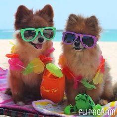 ▶ Play Fun Pomeranian pictures taken with pommy box goodies! Grab a box at pommybox.com - http://flipagram.com/f/RQv2yq7kFy