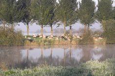Vrijdag 9 oktober 2015, Almere Noorderplassen. De dag van de duurzaamheid: Maaiende schapen.