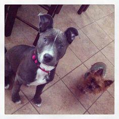 Pitbulls. Animals. Dogs.
