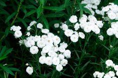 Koreakärsämö. Kauniit, pienehköt, valkeat, kerrotut kukat heinä-elokuussa.