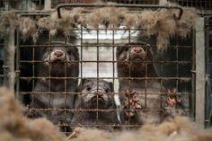 A mutação da Covid em visons foi transmitida a pessoas em sete países - GreenMe Brasil Vegan Animals, Farm Animals, Animals And Pets, Dutch Government, Human Human, Petri Dish, Pet Health, Department Store, Humane Society