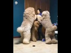 Omg have you ever seen such big dogs? Teddy Bear Poodle, Giant Teddy Bear, Big Dogs, Cute Dogs, Giant Poodle, Animal Sketches, Pet Grooming, Mans Best Friend, Animal Photography