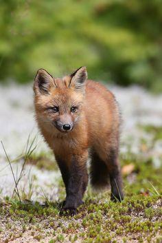 renard roux / immature red fox   by Simon Théberge