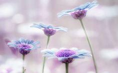 Beautiful of purple Garden daisy flower hd wallpaper Little Flowers, Green Flowers, White Flowers, Blue Daisies, Flower Wallpaper, Hd Wallpaper, Wallpapers, Color Lila, Purple Garden