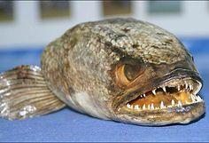 snakehead killer fish | SwittersB & Exploring