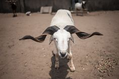 A ram stands pegged to the ground ahead of a ram fighting competition held at the National Stadium in Lagos, Nigeria on March 20, 2016. With eight weight categories and referees, the Ram Lovers Association of Nigeria (RLAM) is working to bring ram fighting into the mainstream by enforcing a strict set of rules to ensure ram safety and fair play. Hundreds of people gathered under a blazing sun to watch the rams fight on a sandy pitch, fenced off with orange and blue rope. The Nigerian…