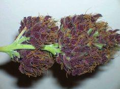 Grapes The best seeds# http://www.spliffseeds.nl/silver-line/blue-berry-seeds.html
