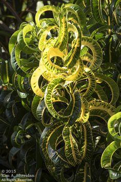 "Longwood Gardens | The Wild Edge.   Croton ""Ram's horn"