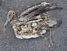 Intolerable beauty: Plastic garbage kills the albatross | Observations, Scientific American Blog Network