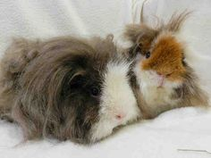 My name is MARSHMELLOW.    I am a female, brown and white Guinea pig.    The shelter staff think I am about 2 years and 1 month old.