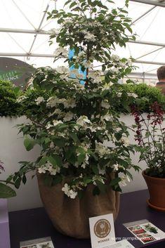 Viburnum plicatum f. Paris Pictures, Kilimanjaro, Chelsea Flower Show, Salvia, Cool Plants, White Flowers, Color Change, Sunrise, Slug