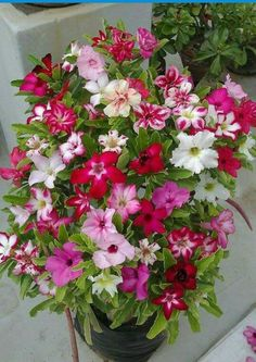 Adenium (Flor del Desierto)