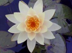 Charlene Strawn water lily