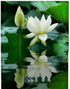 Water lily by Chart Lotus Flower Pictures, Flower Images, Flower Art, Most Beautiful Flowers, Exotic Flowers, Beautiful Gardens, Flowers Gif, Flowers Nature, White Lotus Flower
