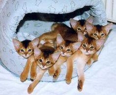 basketful of abbysinian kittehs