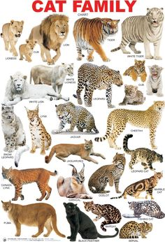 The Cat Family (Feline), La Famillia de Gatos. Big Cats, Crazy Cats, Cute Cats, Cats And Kittens, Siamese Cats, Small Wild Cats, Animals And Pets, Baby Animals, Funny Animals