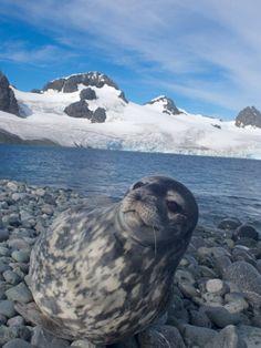 Weddell Seal Resting, Western Antarctic Peninsula, Antarctica