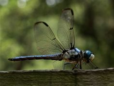 Dragonfly Lion With Wings, Dragonfly Eyes, Gossamer Wings, Cool Bugs, Damselflies, Beneficial Insects, Dragon Flies, Small Animals, Fireflies