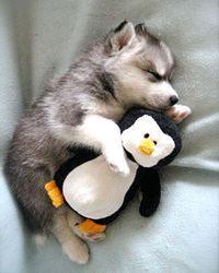 Chiots : Impossible de dormir sans leurs doudous