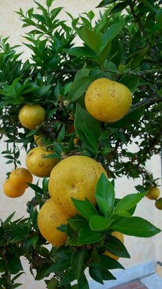 Chinotto tree offers its wonderful fruits to the world admiration