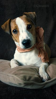 Meet Charlie an amazing jack russel on yummypets.com