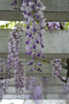 wisteria - individual flowers remind me of those little lady slipper orchid like flowers we use to find in the windbreak