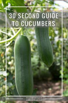 guide to growing cucumbers