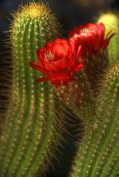 ~~ Red Torch II ~~ I have this lovely cactus. 2 sets of bright red blooms this year!