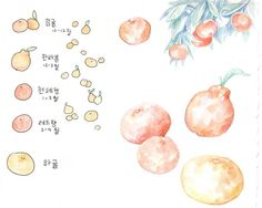 A little guide to mandarins on Jeju island 제주도에 귤 너무 많아서 한번 그림으로 정리해봤어요 천혜향 제일 좋아해요... There's so many kinds and crossovers of mandarins and oranges here on Jeju so I did a little chart for the most important ones #southkorea #korea #lifeinkorea #jeju #jejuisland #jejudo #mandarins #flora #plantlife #botanicalillustration #botanicalart #aquarelle #illustration #artwork #drawing #illust #watercolor #infographic #korean #hangul #제주 #제주도 #제주귤 #귤 #한라봉 #천혜향 #그림 #수채화 #일러스트 by evydraws