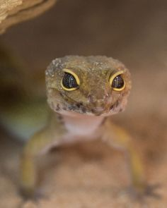 Zoo Med Laboratories, Inc. Amphibians, Reptiles, Geckos, Puppies, Pets, Animals, Cubs, Animales, Animaux