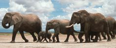 More Than 20,000 Elephants Poached In Africa In 2013