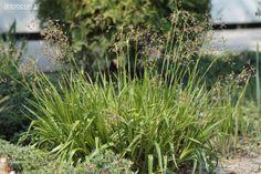 Luzula sylvatica 'Auslese'