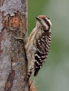 Sunda Pygmy Woodpecker (Dendrocopos moluccensis) | by Zakir Hassan