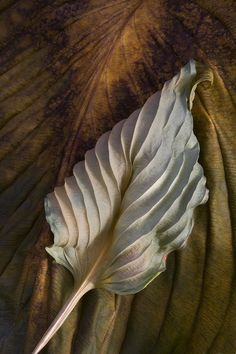 Hosta Leaves Ralph Gabriner: Color Photograph - Artful Home Natural Structures, Natural Forms, Natural Texture, Natural Shapes, Leaf Photography, Texture Photography, Patterns In Nature, Textures Patterns, Dry Leaf