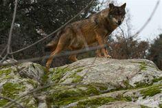 Tenemos lobos
