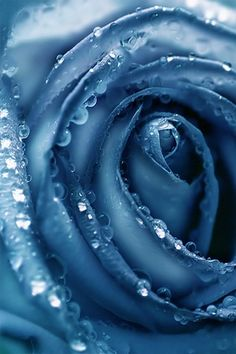 Indigo Rose Wallpaper