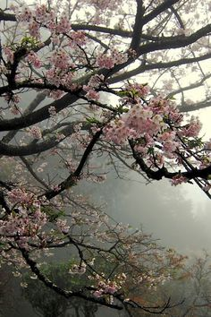 Cherry blossoms in hazy grey sky