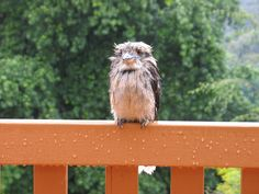 this is what a wet Kookaburra looks like.