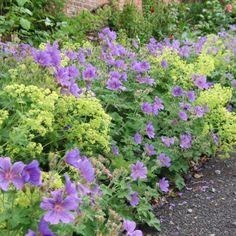 Vrouwenmantel en geranium Garden Gates, Garden Beds, Garden Plants, Different Types Of Fences, Alchemilla Mollis, Side Garden, Purple Garden, Woodland Garden, My Secret Garden